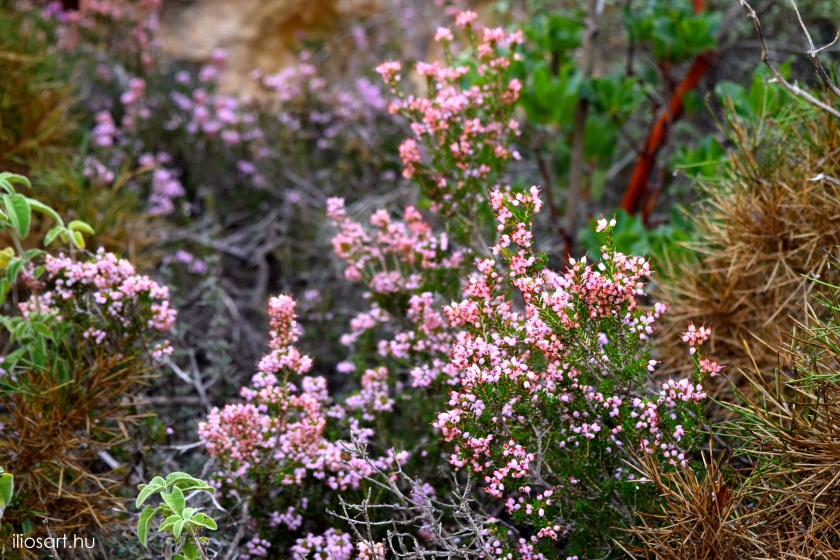 Erica spiculifolia - Monolithos, Rhodes island
