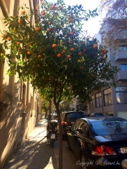 orange tree on Rhodes island